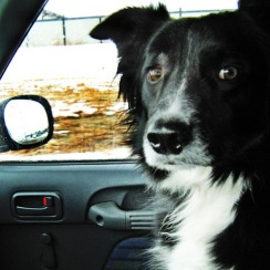 border-collie-front-seat