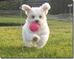 bichon_ball